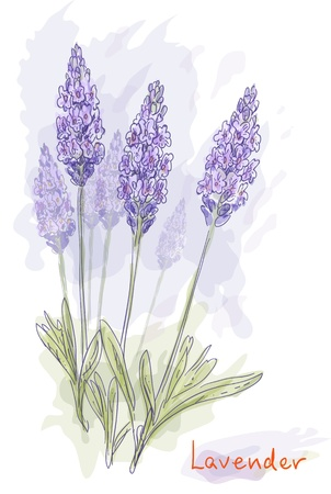 aromatherapy oil: Lavender flowers (Lavandula). Watercolor style. Vector illustration