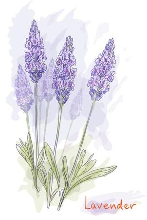 Lavender flowers (Lavandula). Watercolor style. Vector illustration