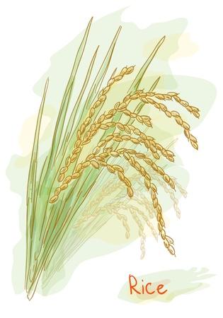 Riz (Oryza sativa). De style aquarelle. Vector illustration.