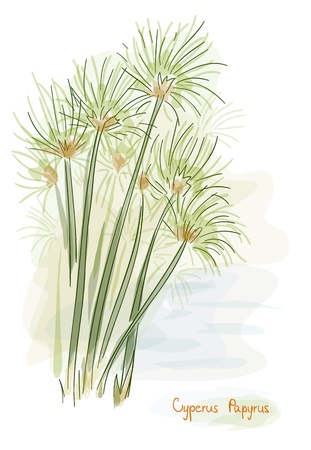 nile river: Papyrus plant. (Cyperus Papyrus) Watercolor style. Vector illustration.