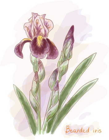 purple iris: Bearded iris. Watercolor imitation. Vector illustration.