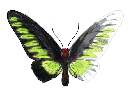swallowtail butterfly: Butterfly Troganoptera Brookina  Unfinished Watercolor drawing imitation