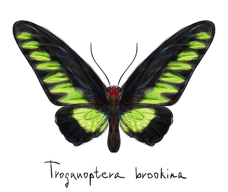 Butterfly Troganoptera Brookina  male   Watercolor imitation