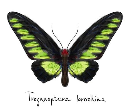 schmetterlinge blau wasserfarbe: Schmetterling Troganoptera Brookina männlichen Aquarell Nachahmung