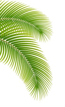 aceite de coco: Hojas de palmera sobre fondo blanco Vectores