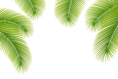 feuille arbre: Feuilles de palmier sur fond blanc