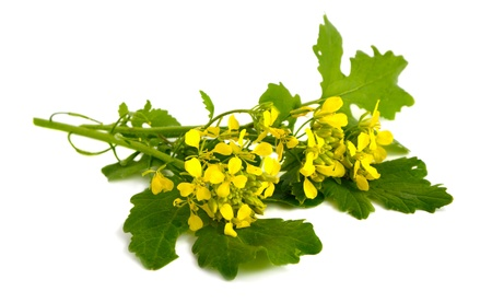 Mustard flowers on a white background. Imagens
