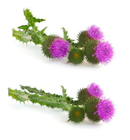 distel: Distel (Cirsium) - sehr stachelige Blume.