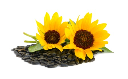 Decorative sunflowers with seeds. Isolated on a white background photo