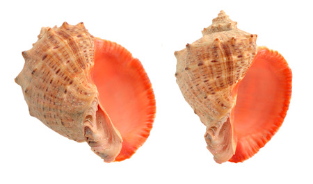 Cockleshells isolated on a white background Stock Photo - 22982996