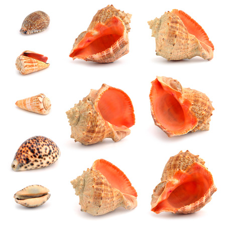 Cockleshells on a white background Stock Photo - 22982997