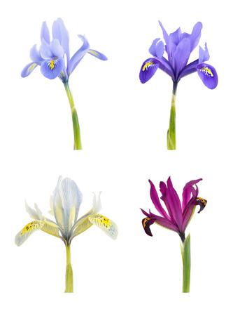 Iris (Iridodictyum) Isolated on white background. Фото со стока