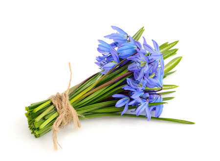 Bouquet from scilla. Isolated on white background. Stock Photo