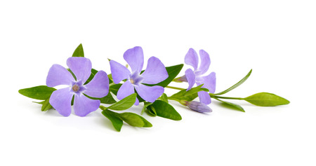 greater: Vinca isolated on white background