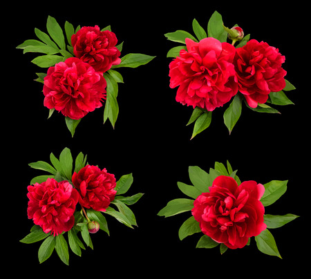 red heads: Red peonies on a black background. Vector illustration. Illustration