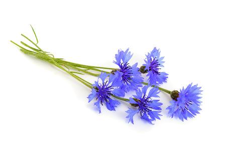 cornflower: Cornflower isolated