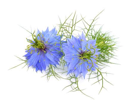 ニゲラ sativa またはフェンネルの花 写真素材