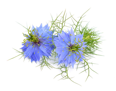 Nigella sativa or fennel flower