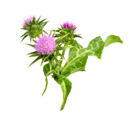 Silybum marianum isolated on white