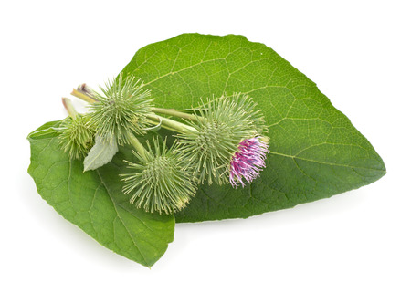 burdock: Burdock isolated on white background Stock Photo