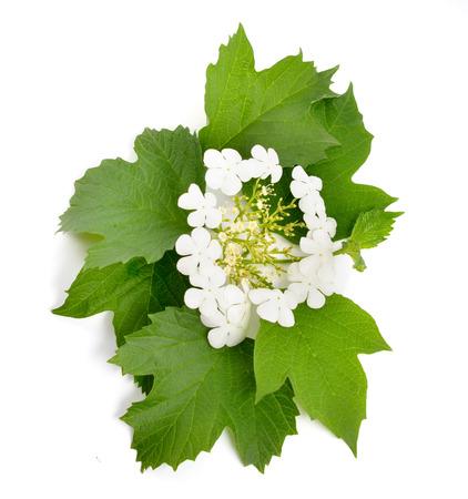 guelderrose: Viburnum (Guelder-rose) flower.