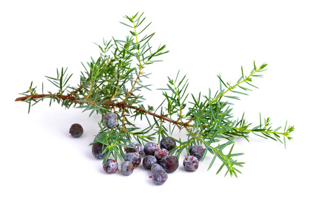 Juniper branch and berries isolated