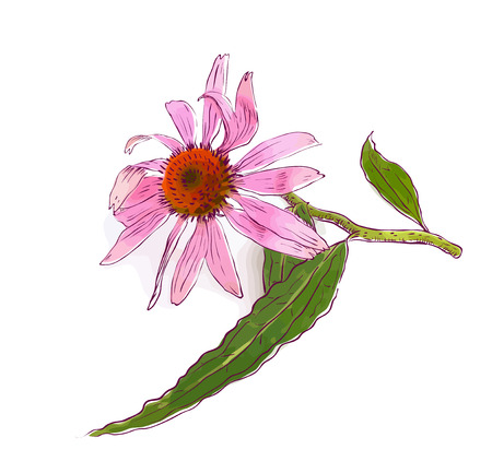 pistil: Echinacea purpurea (eastern purple coneflower or purple coneflower). Vector illustration.