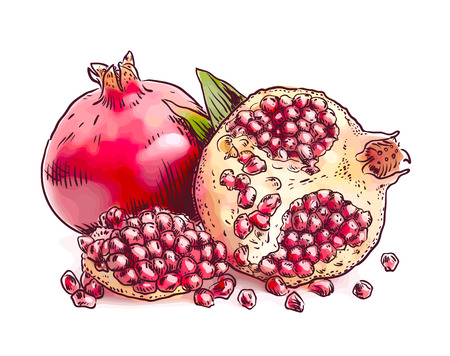 Pomegranate. Vector illustration. Watercolor imitation.