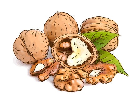 Walnut. Vector illustration. Watercolor with sketch imitation. Ilustração