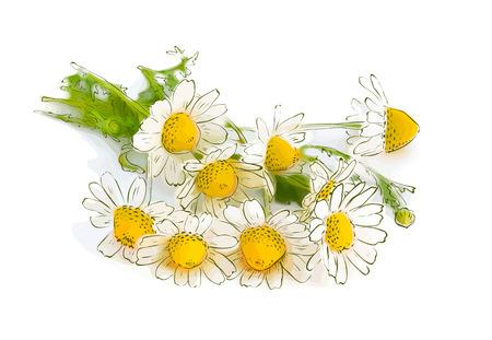 marguerite: Chamomile. vector illustration.
