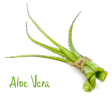vera: Aloe vera. Vector illustration.