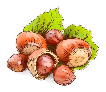 Hazelnut - a filbert. Watercolor imitation. Vector illustration.