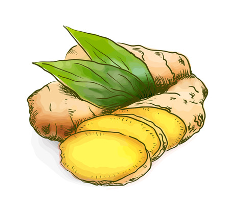 ginger root: Ginger. Watercolor with sketch imitation. Vector illustration. Illustration