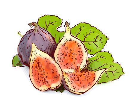 fig leaf: Figs. Watercolor imitation with sketch. Vector illustration. Illustration