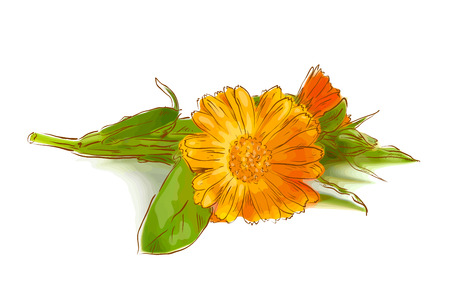 calendula: Calendula flowers. Vector illustration. Illustration