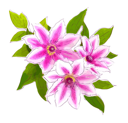 clematis: Clematis. Vector illustration. Illustration