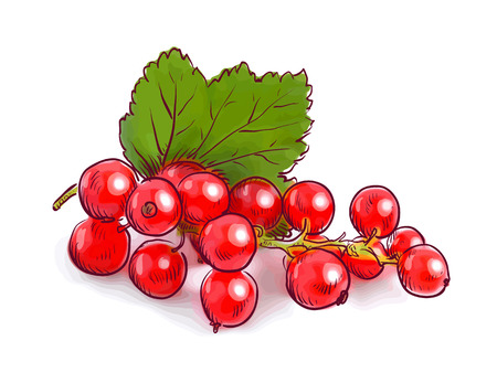red currants: Redcurrant. Vector illustration. Illustration