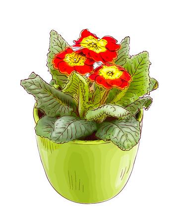 primrose: Red primrose in a flowerpot. Vector illustration.