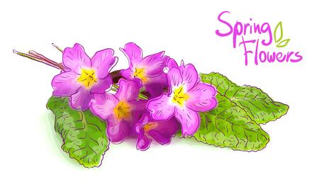 primrose: Pink primrose. Vector illustration.