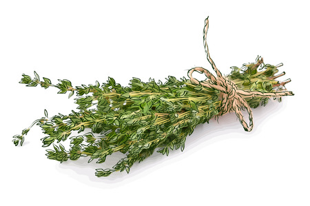 thyme: Thyme. Vector illustration.