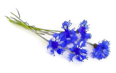 cornflower: Cornflower. Vector illustration.