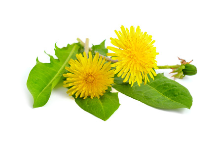 Dandelion flowers. Isolated on white background. Stock Photo