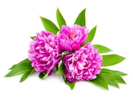 abloom: Pink peonies isolated on a white background.