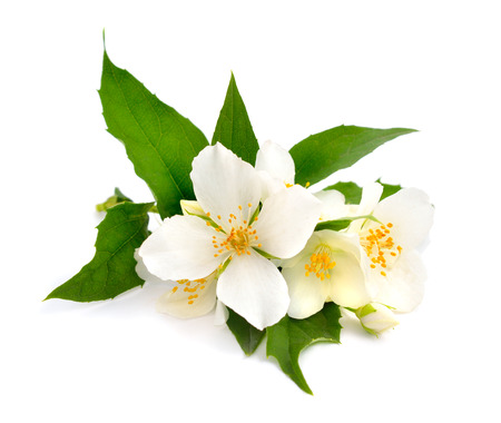 Flowers of a jasmine isolated