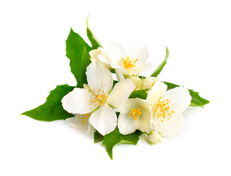 Flowers of a jasmine Isolated. Standard-Bild