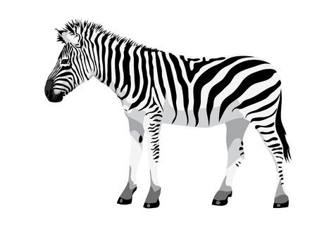 national parks: Zebra. Vector illustration.