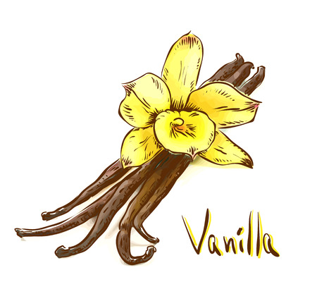 стручки: Vanilla pods with one yellow orchid. Sketch with watercolor imitation texture. Vector illustration.