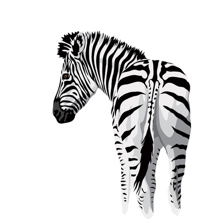 zebra head: Body of a zebra with a tail.. Vector illustration.