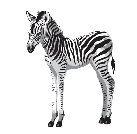 Zebras foal. Vector illustration.