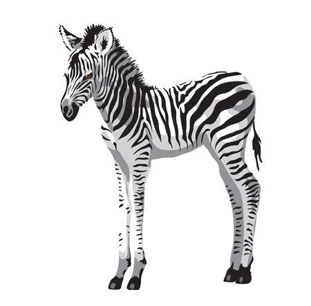 Zebras foal. Vector illustration.